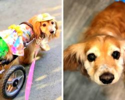 Special Needs Dog Facing Daily Struggles After Carjackers Steal Her Wheelchair