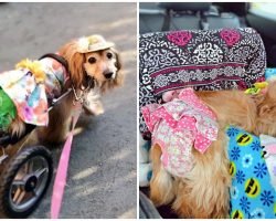 Disabled Dog's Wheelchair Was Stolen During Car Theft, Cops Searching For Thief