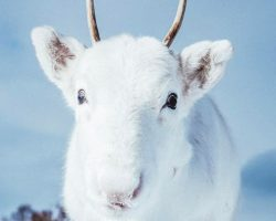 Man Takes Enchanting Photographs Of A Rare All-White Baby Reindeer