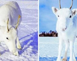 All-White Baby Reindeer Nestled In The Snow Looks Straight Out Of A Fairy Tale