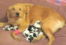 "Workers Find Dumped Golden Retriever, As She Gives Birth To ""Cow Babies"""