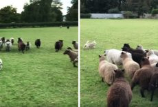"World's ""Worst Sheepdog"" Goes To Herd Sheep, And Gets Them To Play With Him Instead"