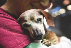 18-Yr-Old Blind Dachshund Was Dumped At Shelter, Clung To First Person Who Showed Her Love
