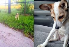 Abandoned Dog Crying On The Side of The Road Just Wanted To Kiss Her Rescuer