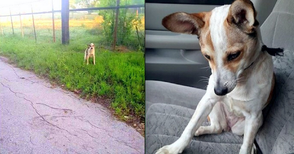 Abandoned Dog Crying On Side of The Road Just Wanted To Kiss Her Rescuer