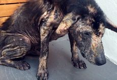 Living Off Scraps At A Garbage Dump, Defeated Dog Yelped In Pain At Human Touch