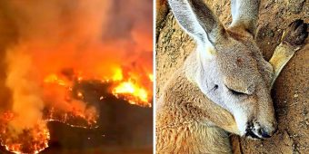 Australian Fires Trigger Extinctions As Animal Casualties Will Soon Touch A Billion