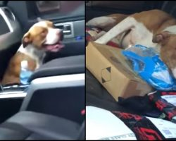 They Opened Their Car Doors After Yoga Class, Stray Pit Hops In & Won't Leave