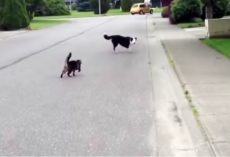 Cat 'Superhero' Defended Her Canine Friend Against The Neighborhood Bully