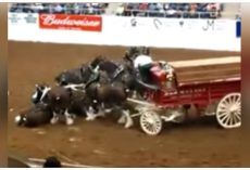 Clydesdale Horses Collapse During Arena Show And Gorgeously Rise Up After Fall