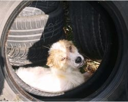 Mutilated Puppy Hid In Tire After His 'Family' Cut His Ears Off & Kicked Him Out