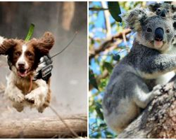 Fearless Detection Dog Is Leaping Through Burning Forests To Rescue Koalas