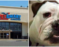 Bulldog Crushed To Death By Grooming Table At PetSmart, Owner Seeking Answers