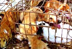 3 Dogs Waiting To Be Butchered By Dog Meat Traders Rescued, Others Still Trapped