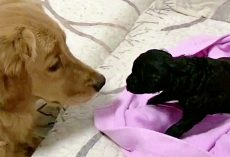 Golden Retriever Who's Always Loved Puppies Finally Got One Of 'His Own'