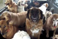 Doggie School Bus Picks Up All Of The Pups And Takes Them To School