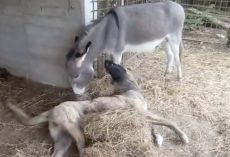 Selfless Donkey Befriends Dog Who Can't Run And Play With The Other Pups