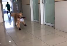 Golden Retriever Basically Treats The Vet's Office As If It's The Playground