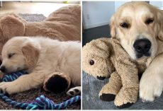 Golden Retriever Grew Up With Stuffed Animal And Refuses To Go Anywhere Without It