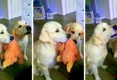 Adorable Dogs Take Turns Holding Teddy Bear While Getting Treats From Mom