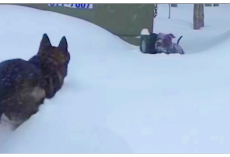 Helpless Dog Stuck In Pile Of Snow And Heroic German Shepherd Lunges To Save Him