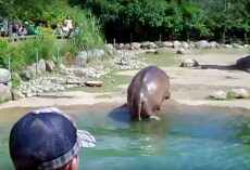 "Hippo Unexpectedly Lets Out ""Massive Fart"" In View Of The Zoo-Goers"