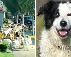 Hundreds Of Goats Escape Enclosure & Border Collie Called To Get Things 'In Control'