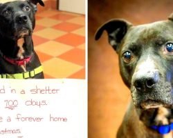 Sad Dog Spends 700 Lonely Days In Shelter, Begs For Someone To Give Him A Home