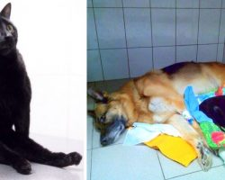 Paralyzed Cat Drags Himself Around To Cuddle With Sick Dogs And Comforts Them