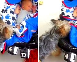 Tiny Dog Sees Her Baby Brother Is Not Tucked In, So She Tucks Him In Herself