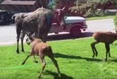 Woman Sees Moose And Babies In The Yard On A Hot Day, Turns On Sprinkler
