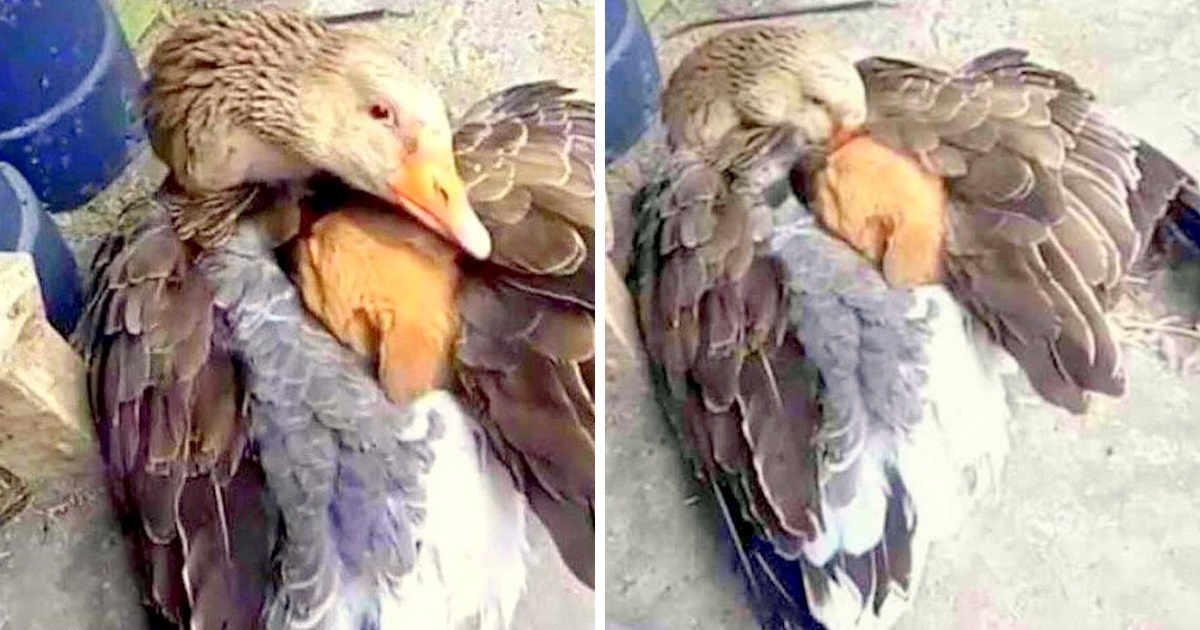 Newborn Puppy Dumped To Die In The Cold, Kind Goose Shelters Him Under Her Wings