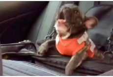 Owner Put French Bulldog In Car Seat And Decided To Throw The Biggest Temper Tantrum