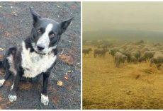 Dog Hailed A Hero For Saving Flock Of Sheep From Australian Bushfires