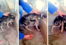 Dog Was So Abused That She Loudly Shrieks In Fear When Rescuer Tries To Touch Her