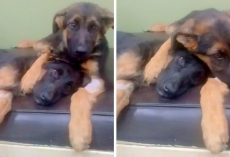 Puppy Hugs And Comforts His Dying Sister During Her Battle With Parvo