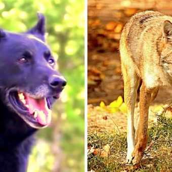 Teen Paralyzed In Woods After Car Crash, Loyal Dog Fights Coyotes To Save Him