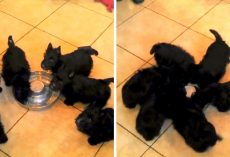 Excited Puppies Are So Happy To Get Milk That They End Up In A Puppy-Pinwheel