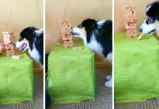 Brilliant Dog Has Become So Skilled At Playing Jenga That She Never Loses A Game