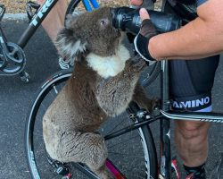 Desperate Koala Emerges From The Brush Fires And Approaches Cyclists For Relief