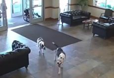 Two Pit Bulls Casually Stroll Into Hospital And Take Themselves On A Tour