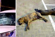 Driver Hits Woman Walking Her 2 Dogs, Dogs Die Instantly & Woman Critically Hurt