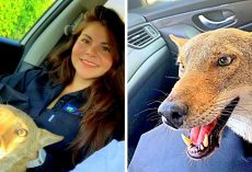 "Woman Rescues ""Injured Dog"", Is Startled When The Vet Says He Isn't Even A Dog"
