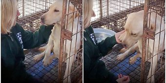Awaiting Slaughter At Meat Farm, She Gently Lifted Her Paw To Thank Her Saviors