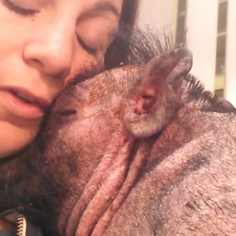Woman Sings To Her Sick And Scared Pig To Comfort Him At The Hospital