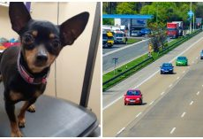 Couple At Large Who Threw Six Chihuahuas From A Moving Vehicle