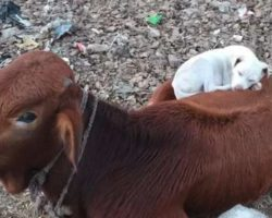 Dog Comes Across Napping Cow And Joins Her For Some Beauty Sleep