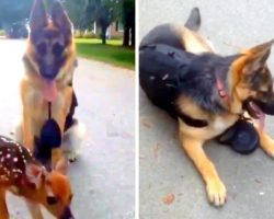 Lost Fawn Thinks Protective K9 Is His Mom, Follows Her Around & Begs For Love