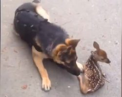 Fawn Comes Out Of The Woods And Befriends Police Dog