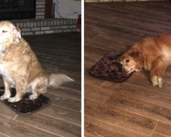 Mom Accidentally Buys Little Dog Bed, Good Boy Pretends Everything's Okay